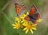 Sizzling Copper (Ger Bosma) Tags: 2mg254712zz kleinevuurvlinder lycaenaphlaeas smallcopper commoncopper americancopper kleinerfeuerfalter bronzé cuivrécommun mantobicolor acobreada male female courting courtship butterflies