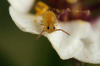 Baby Sminthurus hispanicus