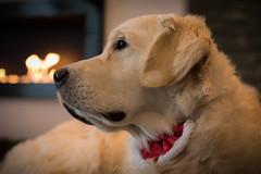 Innocence (glank27) Tags: innocence golden retriever dog pet warm home safe love magic karl glanville photography canon eos 5d mk iv ef50mm f18ii
