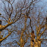 Sun-Bathed Beech Boughs thumbnail