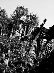 Ilhabela (Caio Augusto Limongi Gasparini) Tags: ilhabela sãosebastião brasil sãopaulo litoralnorte litoraldesãopaulo litoralpaulista jabaquara castelhanos conventodenossasenhoradajuda mar natureza jaca casulo concha pescador