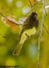 Black Phoebe (orencobirder) Tags: smallbirds flycatchers birds flickrexport
