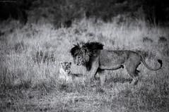 Queen and King (MWVVerb) Tags: 2015 kenya mara masai migration triangle wildeye