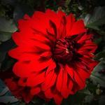 Toronto Ontario - Canada -  Big Zinnia Flowers for a Busy Butterfly Garden thumbnail