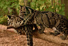 Play Time (Rackelh) Tags: babyanimal baby leopards clouded animal cats mammal bigcat cubs zoo toronto canada