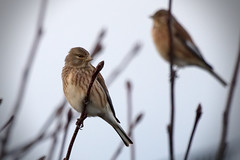 Linnets (19323) (jonathanclark) Tags: winter bird wild wildlife nature natural belfast kinnegar linnet belfastharbourestate holywood northernireland