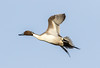 Northern Pintail (Ed Sivon) Tags: america canon nature lasvegas wildlife wild western southwest clarkcounty clark duck desert vegas bird henderson nevada nevadadesert preserve
