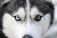 Bullet the Siberian Husky (039545_NX2) (Mike S Perkins) Tags: siberian husky dog male black white blue brown heterochromia akc macro intense staring closeup head blackandwhite pet beauty