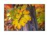 Oktober (Fujigraf) Tags: oktober herbst autum bunt farbenspiel ast baum moos blatt blätter color fuji xt20 xf56mm warm gemütlich