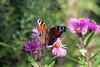 CKuchem-9757 (christine_kuchem) Tags: blüte blüten edelfalter falter garten gartenstaude herbst herbstaster herbstgarten inachis naturgarten nymphalidae staude stauden staudengarten tagfalter tagpfauenauge lila naturnah natürlich