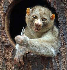 potto artis BB2A9619 (j.a.kok) Tags: potto zuidamerika southamerica animal artis nocturnal mammal zoogdier dier