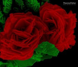 Copper Antimony Sulphide rose