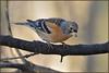 Brambling (image 1 of 3) (Full Moon Images) Tags: raspy sandy lodge thelodge wildlife nature reserve bedfordshire bird brambling