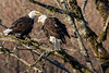 Fish Talk. (Vlad (Vladislav) Averkiev) Tags: boldeagle boldeagles deming eagle eagles mosquitolakeroadbridge nforkroad usa unitedstates washington welcome geo:lat=4885304700 geo:lon=12214615833 geotagged 200500 nikon200500