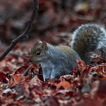 Squirrel in Autumn leaves