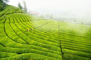 Çay Tarlası, Çaylık (Tea Field)