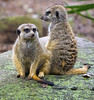 Nashville Zoo 08-21-2016 - Meerkat 3 (David441491) Tags: meerkat nashvillezoo