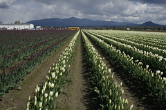 april9ththru16th 053 (condor avenue) Tags: april9ththru16th skagit skagitcounty tulipfestival daffodilfields tulipfields washington tulips springflowers spring