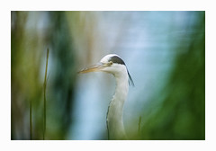 Heron - Fuji 100 exp* (magnus.joensson) Tags: sweden swedish skåne trelleborg lake heron bird contax aria cy zeiss teletessar 300mm handheld fujicolor 100 c41 24x36 analog film exp