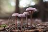 Bicolored Deceiver (Enaruna) Tags: autumn bicoloreddeceiver bicoloureddeceiver deceiver forest fungi fungus herbst laccariabicolor lacktrichterling mushroom mushrooms pflanze pflanzen pilz pilze plant plants wald wood woods zweifarbigerlacktrichterling