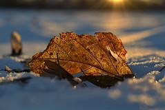 illuminated (joy.jordan) Tags: leaf texture pattern light sunset snow bokeh winter nature