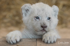 DSC_0819-1 (Linda Smit Wildlife Impressions) Tags: african white lion lioness lioncubs cubs wildlife endangered cats bigcats nature animal carnivore cecil photography nikon d750 big cat mammal zoo damnéville amnéville