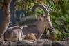 Resting Under A Tree (helenehoffman) Tags: africarocks goat desert bovidae nubianibex mammal horns capranubiana ethiopianhighlands sandiegozoo animal conservationstatusvulnerable alittlebeauty naturethroughthelens coth5