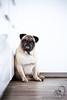Oskar, the new guy (patrickbraun.net) Tags: dog hund kodak mops oskar pug portrait fujifilmxt1 fujinonxf56mmf12r pack rudel animal pet