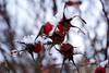 I see red (Wöwwesch) Tags: beachrose winter fruit red snow ice nature