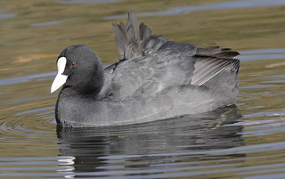 COOT....Powys