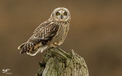 Sunday Edit (Short-Eared Owl) (The Owl Man) Tags: shortearedowl raptor roosting hunting boundarybay ladner britishcolumbia ngc