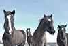 (Uli He - Fotofee) Tags: ulrike ulrikehe uli ulihe ulrikehergert hergert nikon nikond90 fotofee schnee pferd pferde rhön