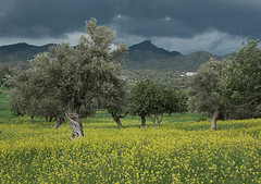 Olive trees in Cyprus (Historystack) Tags: domestication agriculture crete economics bronzeage historyofgreece earth europe 30thcenturybc solarsystem olive milkyway