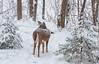 Covered in snow ((nature_photonutt) Sue) Tags: deer snow ouryard ironbridgeontariocanada 20000views