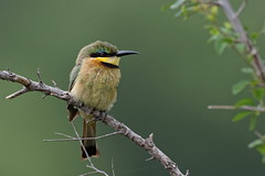 Little Bee-eater - Guêpier nain (happybirds.ch) Tags: afriquedusud africa south kruger national park knp wild sauvage nature happybirds bird oiseau beeeater little guêpier nain green vert ngc