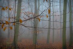 wet and foggy - nass und neblig (ralfkai41) Tags: waterdrops autumn autumncolours nebel herbst woods mist herbstlaub outdoor wald natur bäume trees autumnleafs forest woodlands fog nature herbstfarben droplets wassertropfen