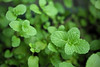 Minty Fresh (ChongBT) Tags: nature natural plant herb flora leaves leaf food spice green spearmint mint fresh
