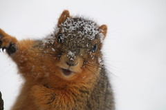 218/365/3505 (January 15, 2018) - Squirrels in Ann Arbor on a Snowy Winter's Day at the University of Michigan (January 15th, 2018) (cseeman) Tags: gobluesquirrels squirrels annarbor michigan animal campus universityofmichigan umsquirrels01152018 winter eating peanut januaryumsquirrel umsquirrel snowsquirrels snow snowy 2018project365coreys yeartenproject365coreys project365 p365cs012018 356project2018