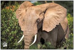 African Elephants 021216-0063-W.jpg (RobsWildlife.com © TheVestGuy.com) Tags: fineart robswildlifecom wildlifetours robswildlife elefantes 2016 ©robswildlifecom elephant 021216 elephants africa animalprints safari nature professional africansafari robdaugherty wildlifeprints tanzania africantours wild outdoors canon epicwildlifeadventures wildlifephotographer photography wildanimals wildlifeart thevestguycom lakemanyara animalart 8016989080