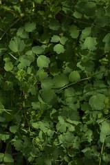 jdy116bpleplbloRbgbYardeloBgr3EgrXX20110426a4483.jpg (rachelgreenbelt) Tags: ghigreenbelthomesinc usa thalictrum colorswhiteyellowgreen greenbelt northamerica midatlanticregion ouryard orderranunculales eudicots familyranunculaceae colorgreen maryland americas thalictrumall magnoliophyta floweringplants ranunculaceae ranunculaceaefamily ranunculales ranunculalesorder spermatophytes