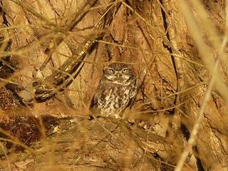 Little Owl at Sunrise