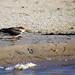 African skimmer, Zambezi River, Zambia