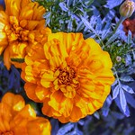 Toronto Ontario - Canada  - Edwards Botanical Gardens  - Buttercup Flower thumbnail
