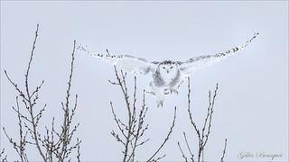 Harfang des neiges _femelle