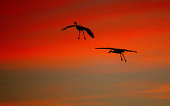 On Final... Gear Down!  -- Sandhill Cranes (Grus canadensis); Bernado, NM, Ladd Gordon WMA [Lou Feltz] (deserttoad) Tags: bird wildbird crane waterfowl clouds nature refuge newmexico silhouette sunset desert flight