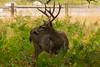 California Mule Deer (adamrferry) Tags: yosemite yosemitenationalpark deer california muledeer californiamuledeer stag grass wild grazing nature nationalpark usa hiking herbivore antlers wildlife animal natural