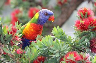 Rainbow Lorikeet in a Bottlebrush tree.