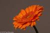 "In the livingroom, ""Gerbera"" (Fred / Canon 70D) Tags: gerbera orange canon canon70d canoneos closeup eefde macro elinchromgoldumbrella elinchrom falconeyesskk2150d falconeyes ef100mmf28lmacroisusm"