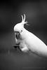 Sulphur-Crested Cockatoo (Old-Man-George) Tags: 2017 australia bluemountains cacatuagalerita cockatoo georgewheelhouse katoomba nsw newsouthwales sulphurcrested spring wwwgeorgewheelhousecom a175348