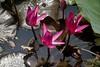 """INDONESIEN, Im botanischen Garten von Bogor, Seerosenteich am Sommerpalast, 17092/9579 (roba66) Tags: wwaterlily seerosen seerosenteich reisen travel explore voyages urlaub visit roba66 asien südostasien asia eartasia """"southeast asia"""" indonesien indonesia """"republik indonesien"""" """"republic indonesia"""" indonesie archipelago inselstaat java city stadt bogor botanischergarten botanic flora blumen blüten fleur flori flor flores bloem plants pflanzen colores color colour coleur nature natur naturalezza"""